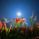面向陽光的金針花