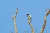 Hooded Butcherbird, Biak, West Papua