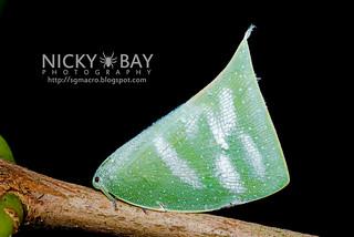 Flatid Planthopper (Flatidae) - DSC_7246