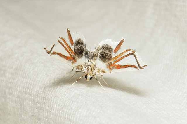 Spider Moth (cf. Ambia instrumentalis, Musotiminae, Crambidae)