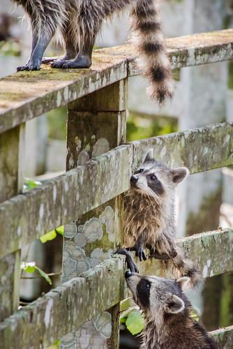 unitedstates florida naples racoon angst momma audubonsociety corkscrewswampsanctuary uncertainity uscopyrightregistered2013