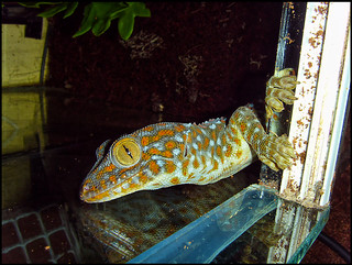 tokay gecko | by Stuart McK