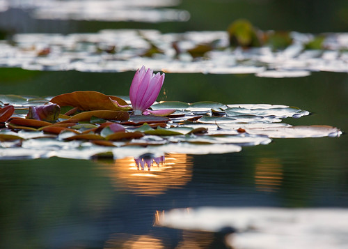 flower flowers floral denverbotanicgardens colorado waterlily waterlilies pond water reflections lilypads summer sunset evening
