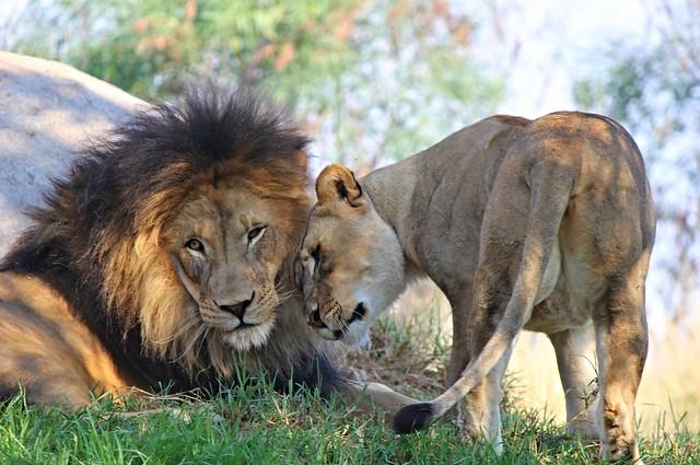 Lion Camp - Izu Oshana