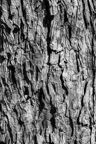 park wood blackandwhite white black detail tree nature forest landscape blackwhite texas unitedstates bark swamp lakejackson nikond600 nikon70mm
