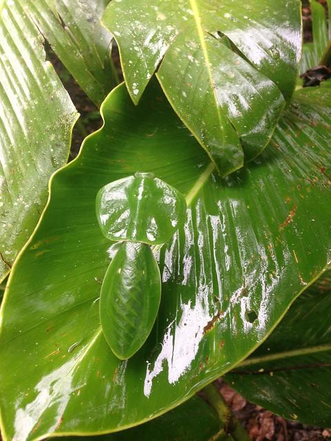 Leaf Wing Mantis at Tirimbina