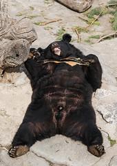 Sun Bathing (Asian Black Bear- Ursus thibetanus)