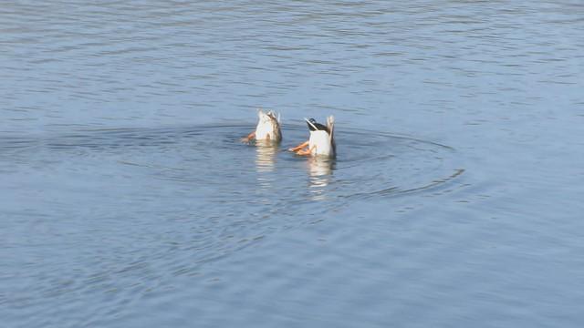 MVI_7142 Mallard dabbling ducks dipping 23s