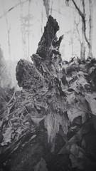 Fallen tree at Ruffner Mountain