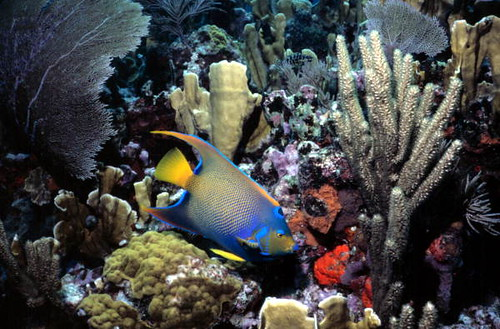 Queen Angelfish at John Pennekamp Coral Reef State Park: Key Largo, Florida | by State Library and Archives of Florida