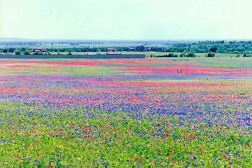 field landscape spring scenery texas unitedstates 1999 pasture wildflowers bluebonnets indianpaintbrush midlothian