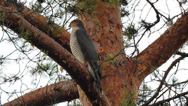 Raudkull (Accipiter nisus) Sparrowhawk