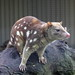 Tiger Quoll - Photo (c) S J Bennett, some rights reserved (CC BY)