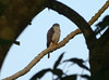 Rufous-thighed Kite (Harpagus diodon)  by Francisco Piedrahita
