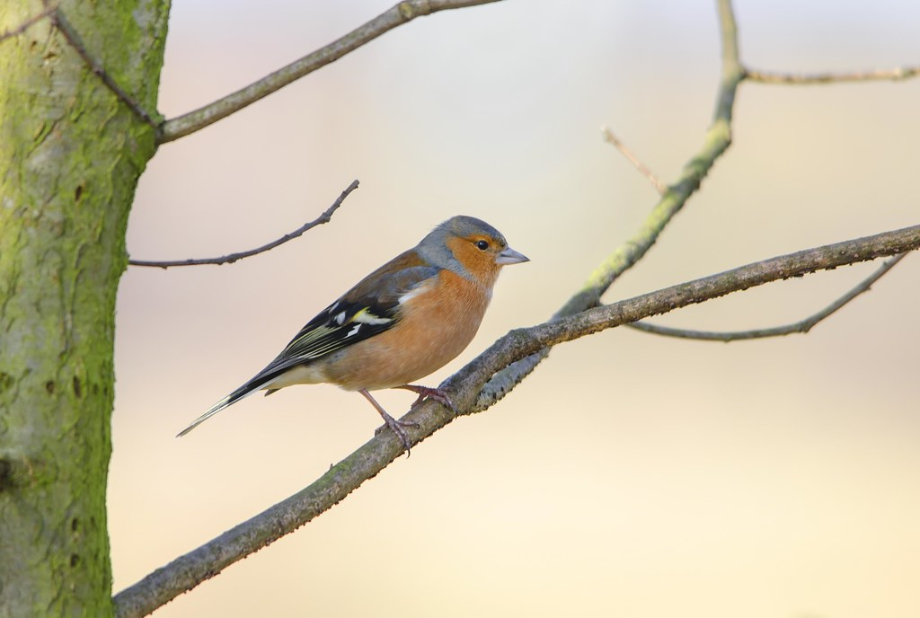 Male Chaffinch | The name chaffinch comes from Old English c… | Flickr