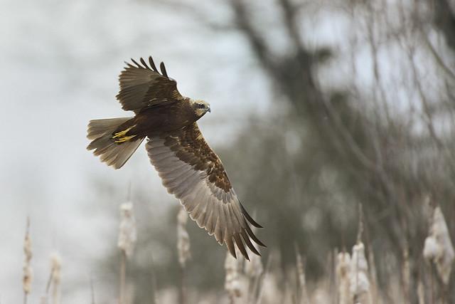 Falco di palude 2