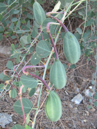 Capparis spinosa, unripe fruit | by Helena2000