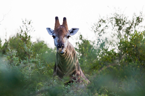 africa wild tongue sunrise canon southafrica is south giraffe f4 hoedspruit kruger limpopo ef70200 baluli w14ext canonef70200f4isw14ext