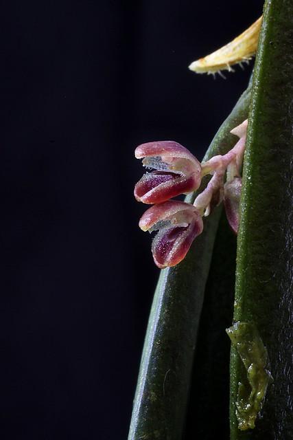 Trichosalpinx species