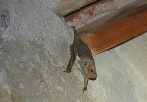 Maurition Tomb Bat | by curtisfrommichigan