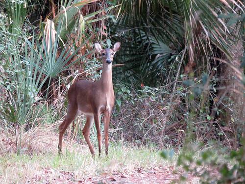 White-tailed Deer | by magnificentfrigatebird