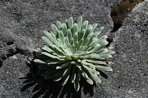 Corona de rei ( Saxyfraga longifolia) Copy. Toni Nievas | by Fundació Catalunya La Pedrera