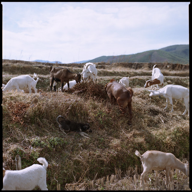 sheep dog surround sound