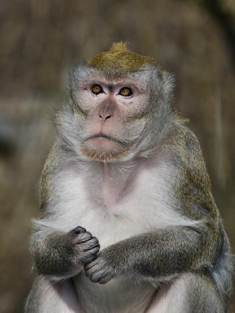 Javaneraffe Macaca Fascicularis Im Zoo Linz 2399 Flickr