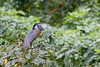Boat-Billed Heron / Cochlearius cochlearius by peter.lindenburg