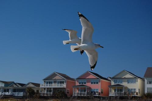 Seabirds in flight 7135 | by Joanna Lee Osborn