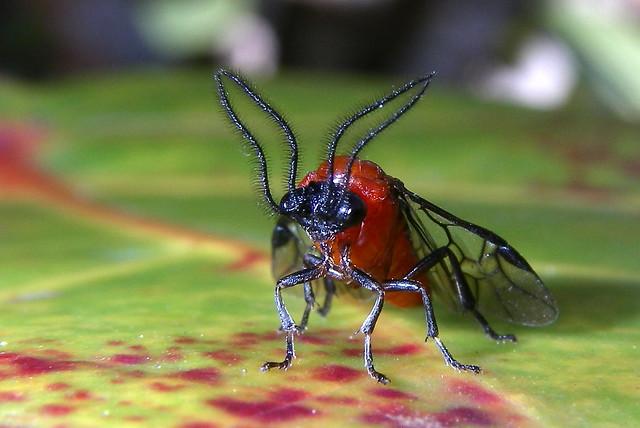 Sawfly on Seagrape at San Juan. Explored 110413.               Krug's Sawfly - Sericocera krugii (thanks Zebart for ID)
