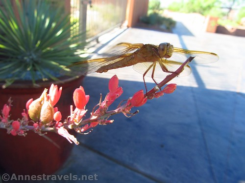 Grasshopper at the Red Hills Desert Garden, Utah