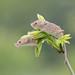 Harvest Mice - Micromys minutus by rosebudl1959