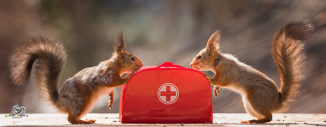 red squirrels with a Emergency Suitcase