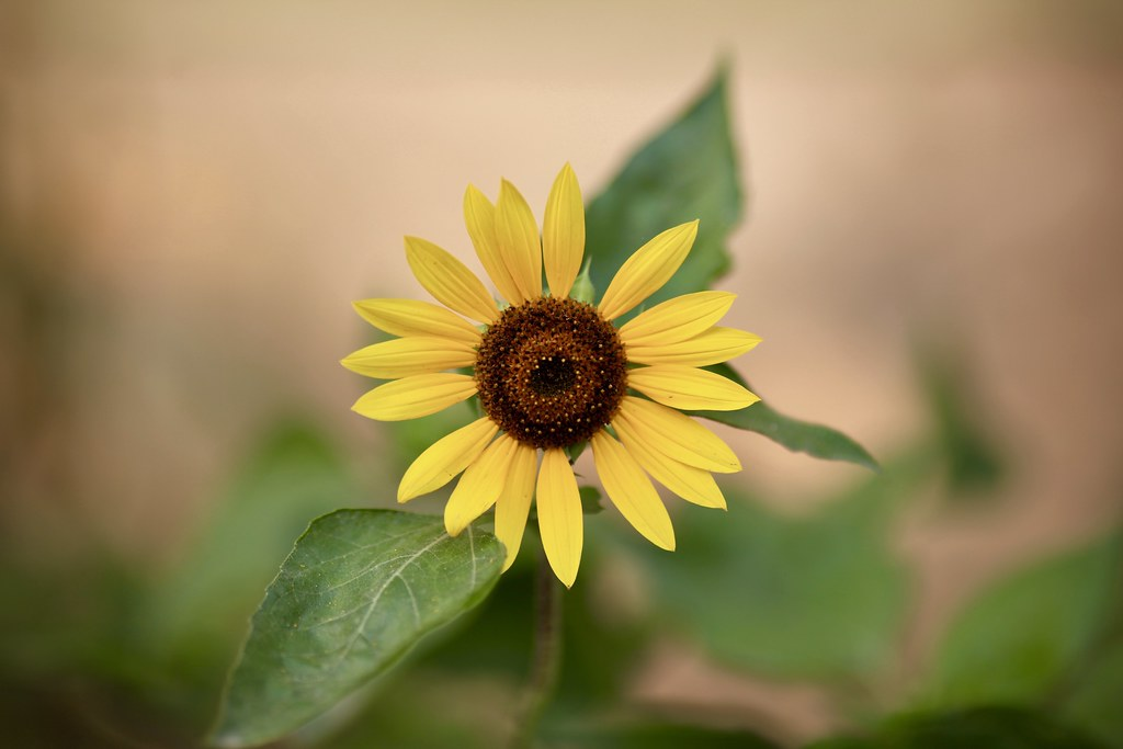 Afternoon  Sunflower