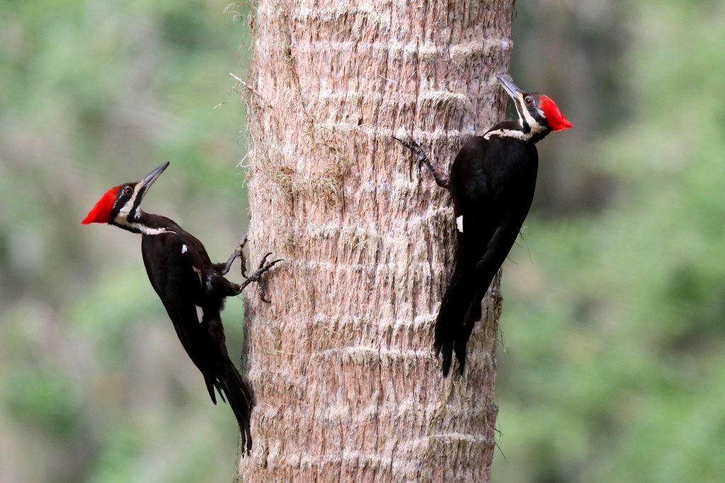 Playtime!! These juvenile Pileated sisters are as big as their parents and are  enjoying a little game of tree tag at Circle B Bar Reserve, Lakeland,  Florida