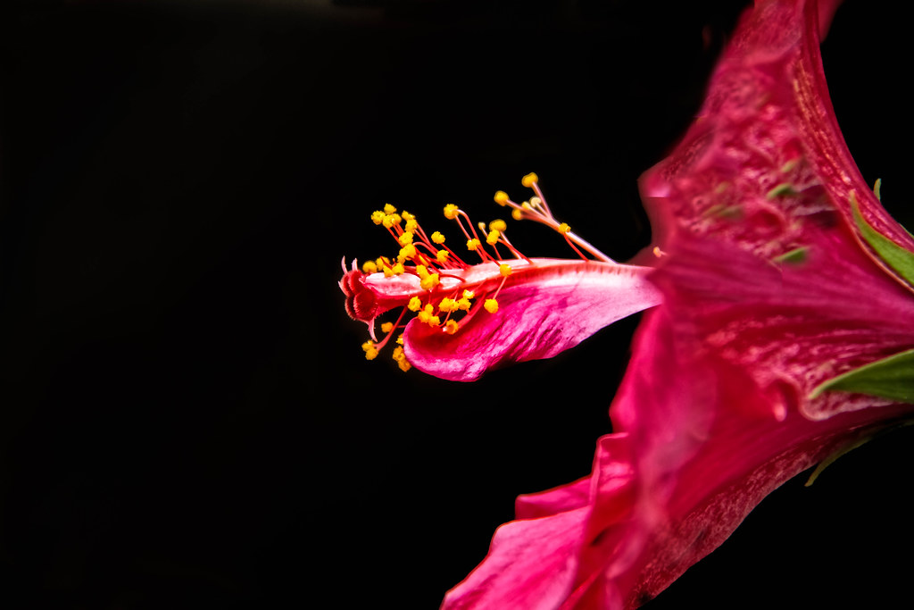 Hibiscus Stamens Just As The Sunlight Reached The Flower I Flickr