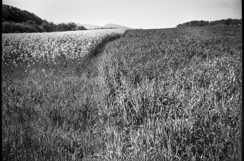 canola field in bloom, neighboring grasses, Biltmore Estate, Asheville, North Carolina, Kodak Brownie Flash-20, Kodak TMAX 400, Ilford Ilfosol 3 developer, 4.27.18