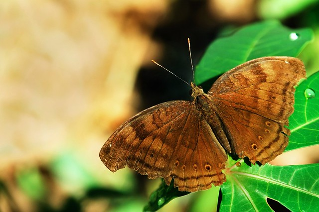 Brown Butterfly (Flickr explored)