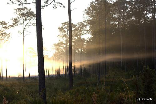 trees sun fog sunrise pines swamp okefenokee