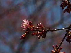 土, 2013-03-30 11:29 - ブルックリン植物園