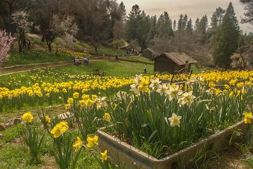 california farm hill daffodil mclaughlin