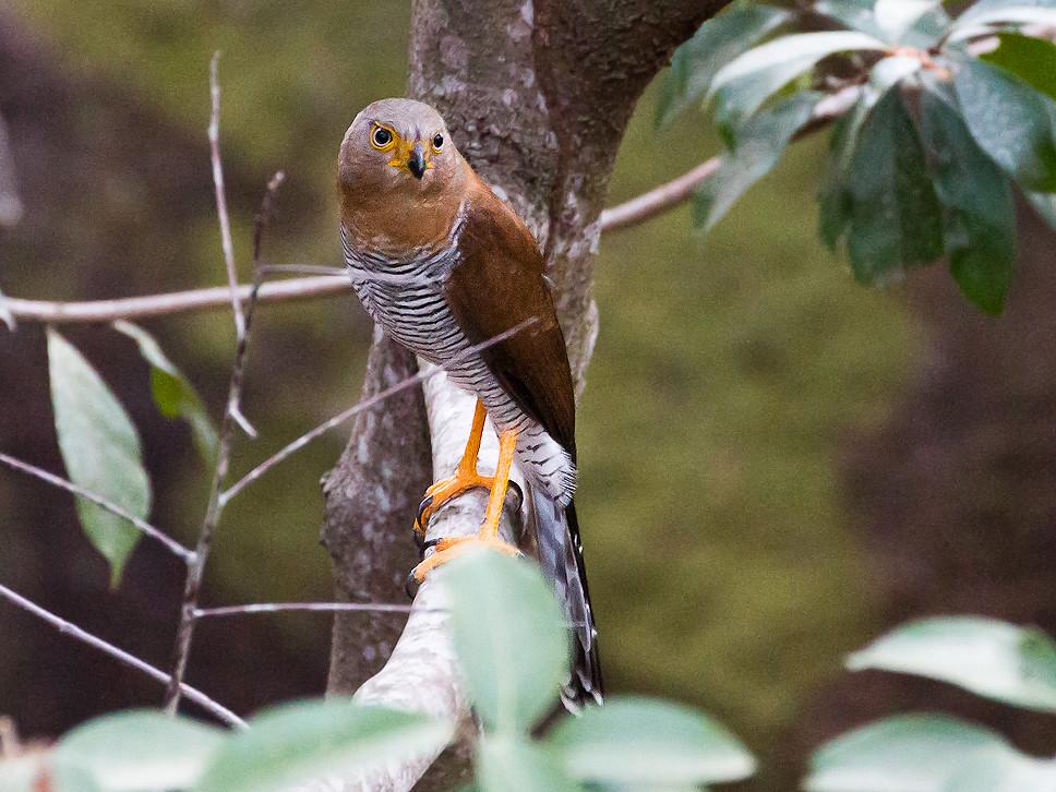 Barred Forest Falcon (Micrastur ruficollis)