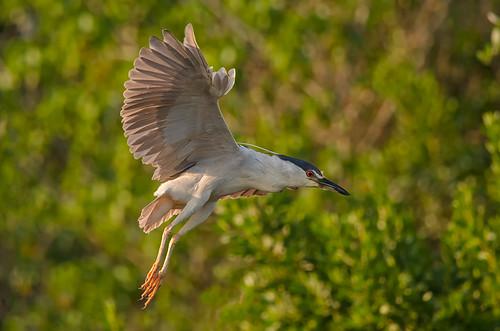 bird heron birds birding birdwatching avian blackcrownednightheron lateafteroon birdperfect