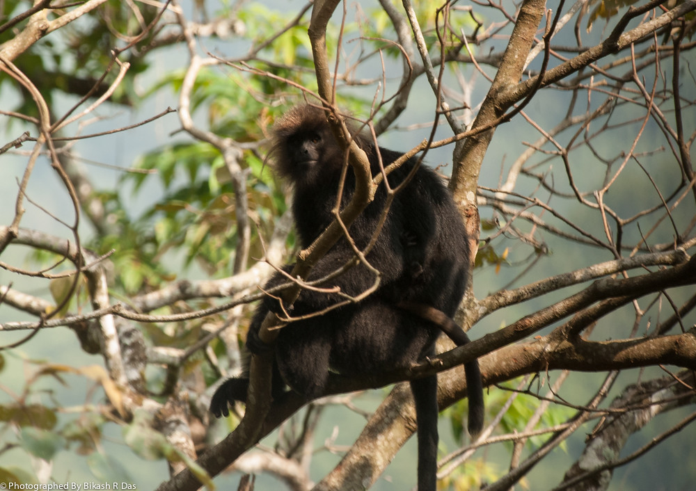 Niligiri Langurs | The Delicate Balance of Nature in the ...