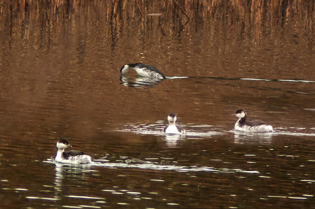 Slavonian Grebe-Tongwell