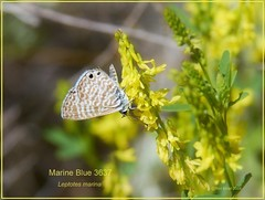 Marine Blue Zion National Park butterfly photography by Ron Birrell; 052812 DSC_3637