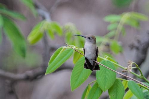 birds animals ecuador hummingbirds loja animalia vertebrates trochilidae tumbeshummingbird leucippusbaeri