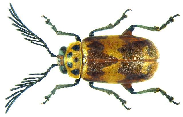 Polyclada spec. male