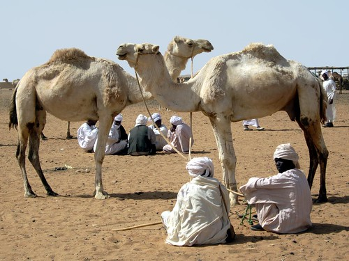 Camels For Sale | by D-Stanley